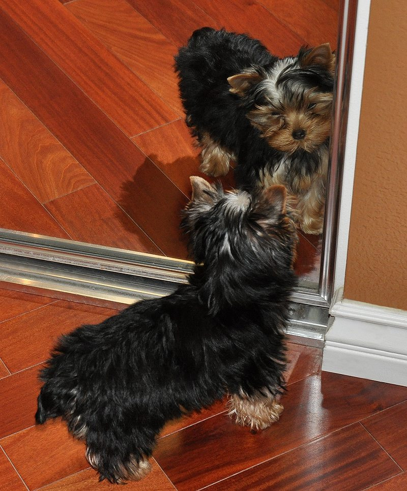Dang!  This Yorkie is Cute!  Paco in the Mirror.  13 Weeks Old.
